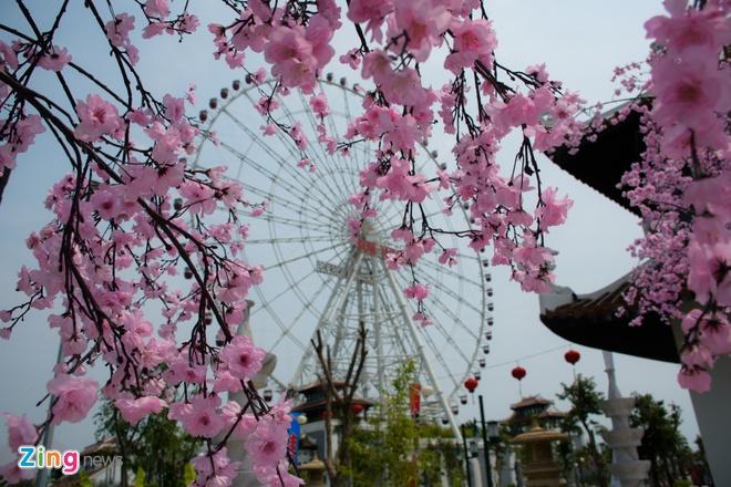 Le hoi hoa anh dao Hanami Da Nang truoc ngay khai mac hinh anh 5