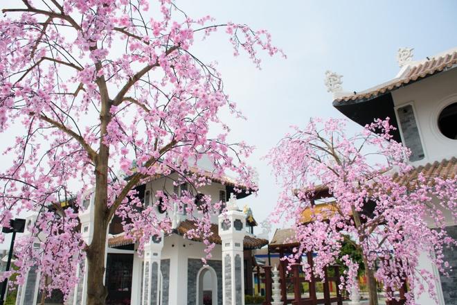 Le hoi hoa anh dao Hanami Da Nang truoc ngay khai mac hinh anh