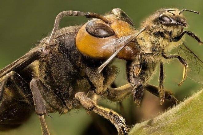 Ong bap cay vut con so sinh, bo doi ong chua khi troi lanh hinh anh