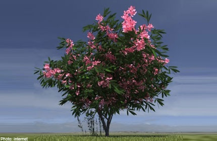 Chat doc chet nguoi trong mot so cay canh quen thuoc hinh anh 1 Trúc đào có hoa rất đẹp nhưng lại là loại cây có độc. Ảnh: Asiaone