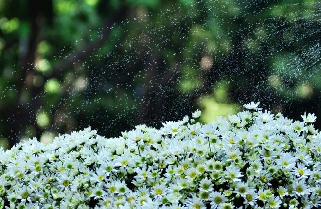 Cuc hoa mi xuong pho Ha thanh hinh anh 14