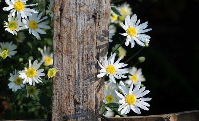Cuc hoa mi xuong pho Ha thanh hinh anh 15
