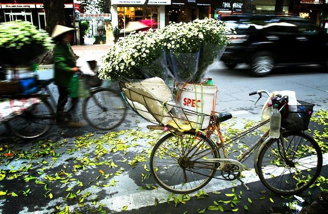 Cuc hoa mi xuong pho Ha thanh hinh anh 11 Loài hoa này đang đắt hàng, bán trên khắp các con phố, Giảng Võ, Nghi Tàm, Đội Cấn, Láng Thượng hay các chợ trung tâm thủ đô.