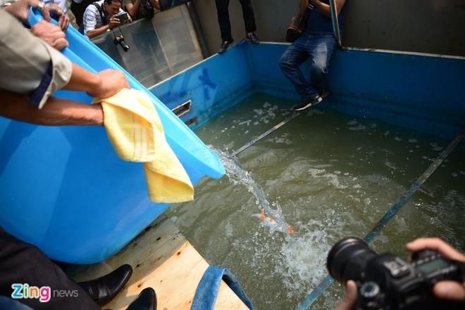 Bất đồng nguyên nhân cá Koi sông Tô Lịch chết liên tục