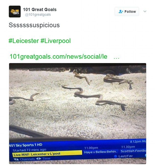 Ca doi Leicester bi xo xien la ran doc hinh anh 2