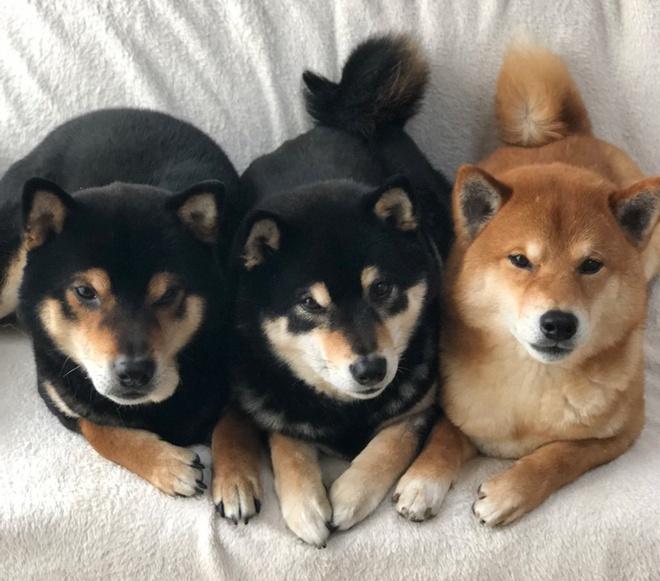 3 anh em cho Shiba noi tieng tren mang, co trang web ban hang online hinh anh 2