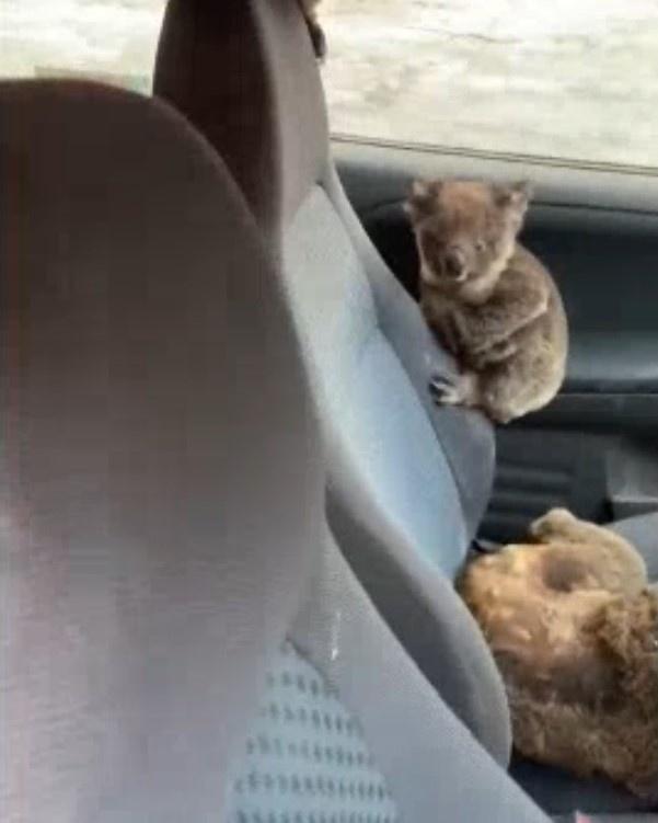 2 chang trai cho gau koala vao oto de thoat khoi chay rung o Australia hinh anh 2 Untitledlzz.jpg