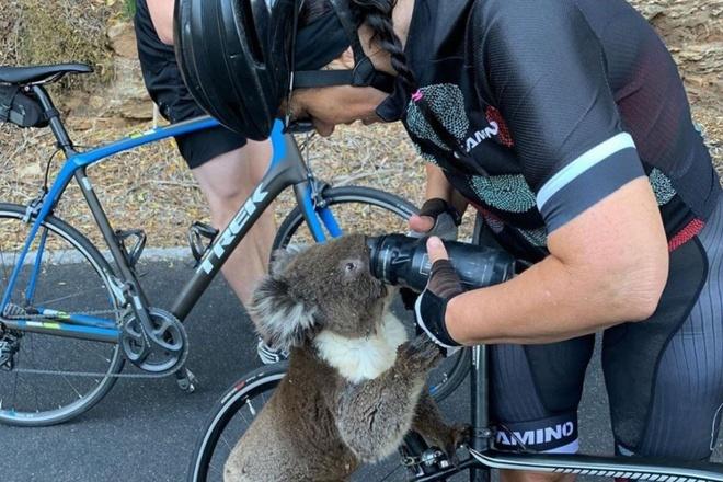 2 chang trai cho gau koala vao oto de thoat khoi chay rung o Australia hinh anh 3 gautui.jpeg