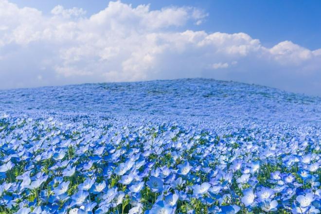 Thien duong hoa no quanh nam o Nhat Ban hinh anh