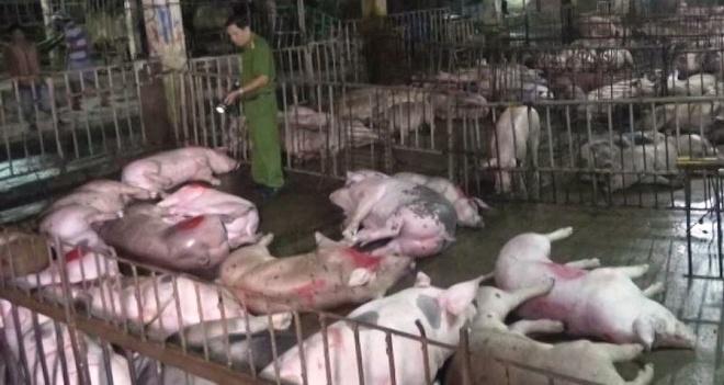37 Con Heo Chet Sau Khi Bom Nuoc Tang Trong Luong Hinh Anh 1