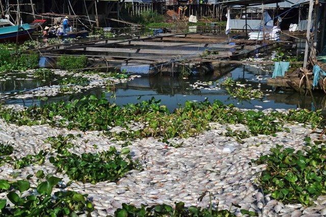 Vào năm 2016, hơn 1.100 tấn cá chết trên sông Cái Vừng do thiếu oxy cục bộ. Ảnh: Anh Minh.