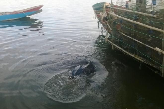 Rua da quy hiem nang 80 kg mac luoi ngu dan hinh anh 1 Cá thể rùa biển quý hiếm đã được thả về môi trường tự nhiên