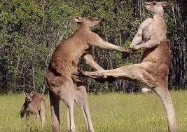 Kangaroo la bieu tuong cua nuoc nao? hinh anh