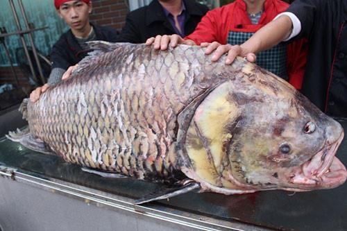 'Thuy quai' khong lo, nang 600 kg tren song Cuu Long hinh anh 2