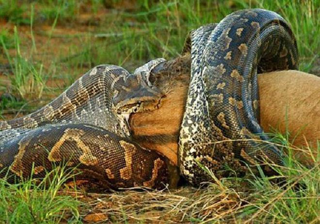 Loai tran nang 250 kg va nhung dong vat dang so o rung Amazon hinh anh 8