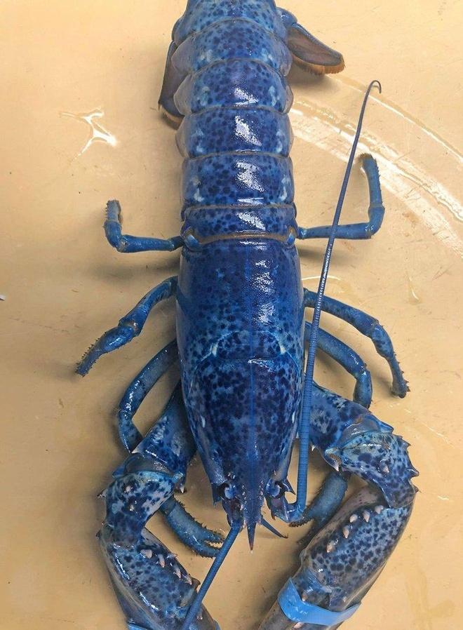 Nhà hàng tặng tôm hùm xanh dương cực hiếm cho thủy cung
