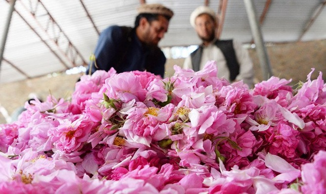 Trong hoa hong thay anh tuc, nong dan Afghanistan tan huong thanh cong hinh anh