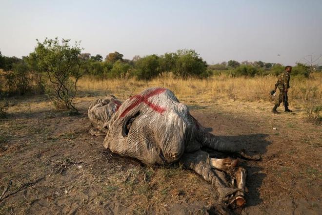 Phat hien gan 90 xac voi o Botswana, canh bao nan san trom gia tang hinh anh