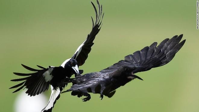 Loai chim lam kho so nguoi Australia khi mua xuan den hinh anh