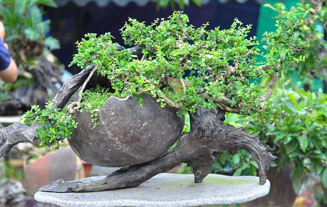 Hang nghin chau bonsai doc dao o Dong Nai hinh anh