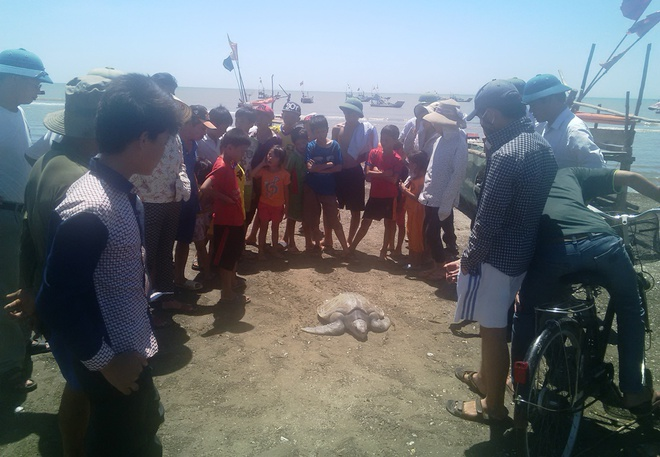 Rua bien quy hiem nang hon 20 kg mac luoi ngu dan hinh anh 1 Đông đảo người dân đến xem con rùa mắc lưới anh Thọ.