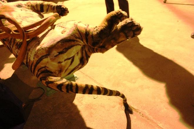 Cho chui con ho 120 kg voi gia 8 trieu dong hinh anh 6 Phần đuôi của con hổ. Đây được xác định là cá thể hổ đã để đông lạnh