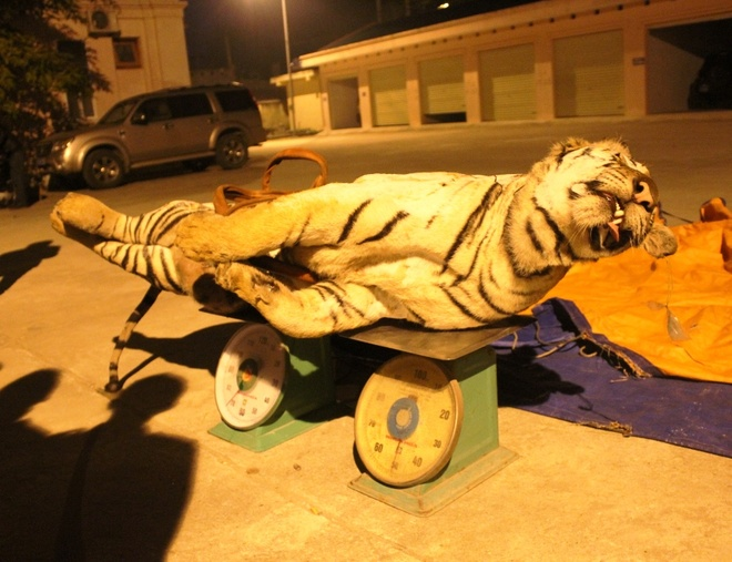 Cho chui con ho 120 kg voi gia 8 trieu dong hinh anh 4 Tại đây, cảnh sát đo được con hổ dài 1,6m; nặng 120kg.