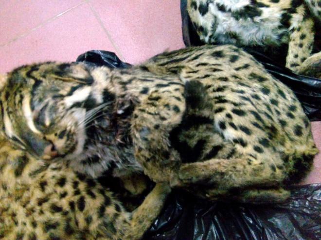 Tam giu nguoi dua meo rung quy hiem vao thanh pho tieu thu hinh anh 1 6 cá thể mèo rừng nặng 18kg đựng trong thùng carton.