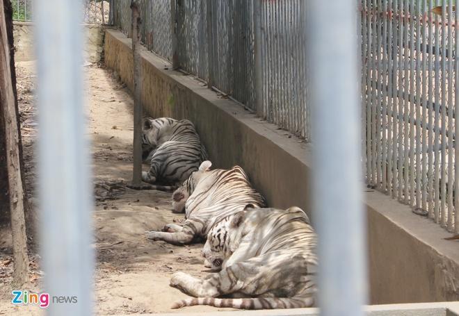 Uan khuc quanh vu co gai bi ho vo dut canh tay hinh anh 1 Hổ trắng nuôi trong khu chuồng của Khu du lịch sinh thái Trại Bò. Ảnh: Phạm Hòa.