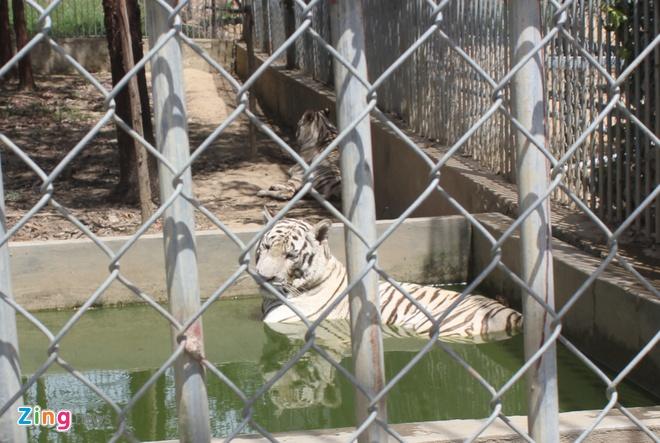 Nu du khach bi ho can dut canh tay xuat vien hinh anh 3 Hổ trắng nuôi tại Khu du lịch sinh thái Trại Bò. Ảnh: Phạm Hòa.