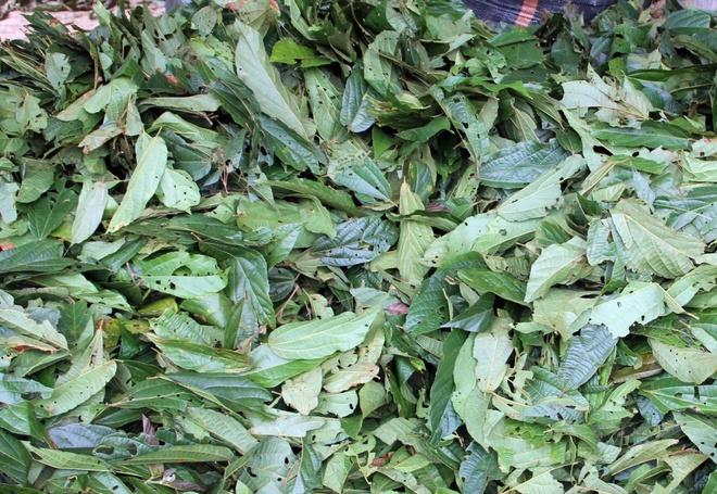 Do xo vao rung hai la chua ke ban cho thuong lai la hinh anh 4 Người dân có thể để hái lá cây tươi đem về sau đó bán thẳng cho các lái buôn hoặc phơi khô.