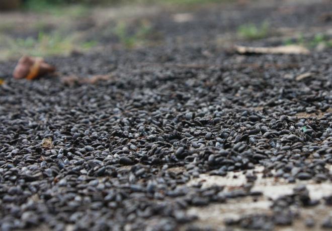 Nguoi Nam bo bo nha ra vuon ngu vi bi bo dau den tan cong hinh anh 5 Những người dân nơi đây cho biết, dịch bọ đậu đen đã tồn tại nhiều năm và xuất hiện ở một số xã. Bọ đậu đen thường xuất hiện vào mùa mưa. Bọ đậu đen không cắn người nhưng khi bị giẫm lên sẽ tiết dịch và dịch này có thể làm phần da của người tiếp xúc với chúng bị phỏng rộp.