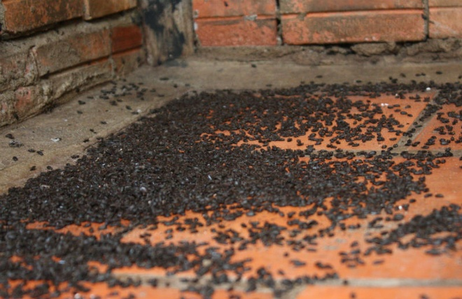 Nguoi Nam bo bo nha ra vuon ngu vi bi bo dau den tan cong hinh anh 4 Một góc nhà của người dân có hàng ngàn con bọ đầu đen.