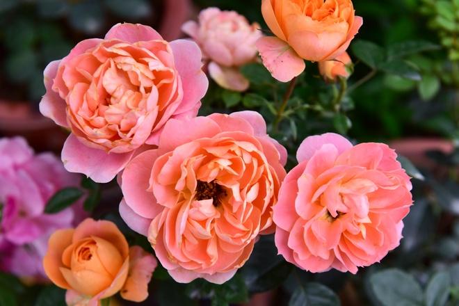 Hang nghin cay hoa hong Bulgaria khoe sac truoc le hoi hinh anh