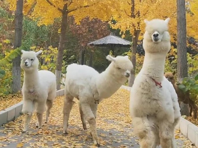 Choi dua cung lac da Alpaca trong cong vien dong vat hoang da hinh anh
