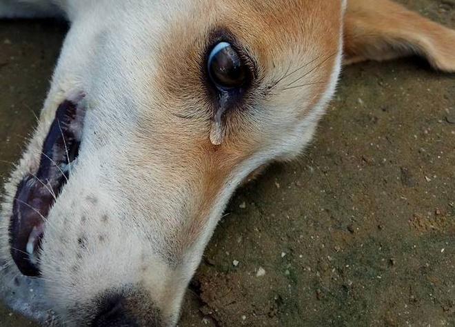 bệnh về mắt thường gặp ở chó