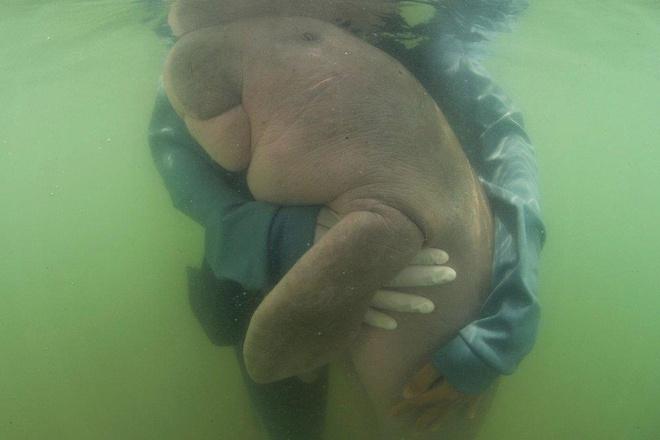 Bò biển lạc mẹ gây sốt ở Thái Lan đã chết, ruột đầy rác thải nhựa