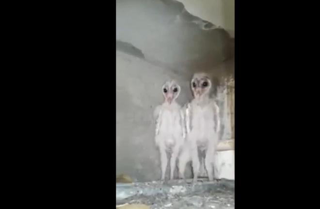 Hình ảnh chim cú lợn miền đông tại Ấn Độ khiến nhiều người lầm tưởng là người ngoài hành tinh. Ảnh: Daniel Holland.