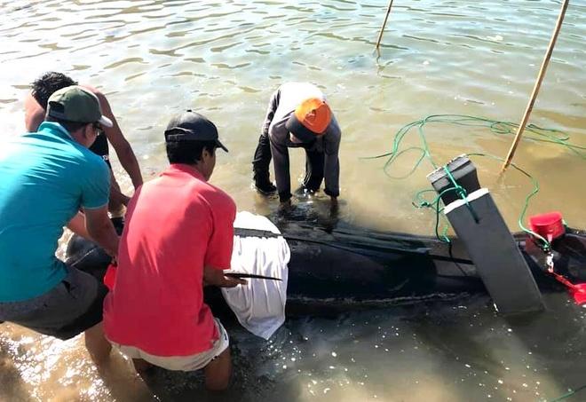 Cá voi dài 3 m chết sau 4 ngày mắc cạn