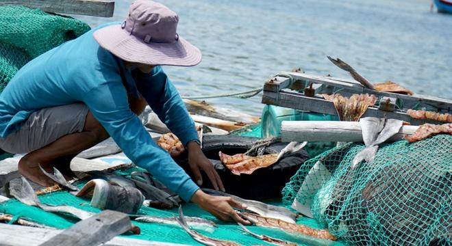 Cá bớp ở vịnh Vĩnh Hy mắc 'bệnh lạ'