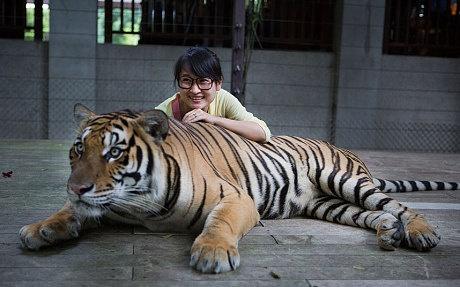 Du khach bi ho vo o Phuket, Thai Lan hinh anh 1 Trong một chuồng nuôi hổ ở Tiger Kingdom. Ảnh: Gettyimages