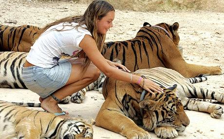 Du khach bi ho vo o Phuket, Thai Lan hinh anh 2 Một du khách đang xoa đầu hổ ở Tiger Temple. Ảnh: Gettyimages