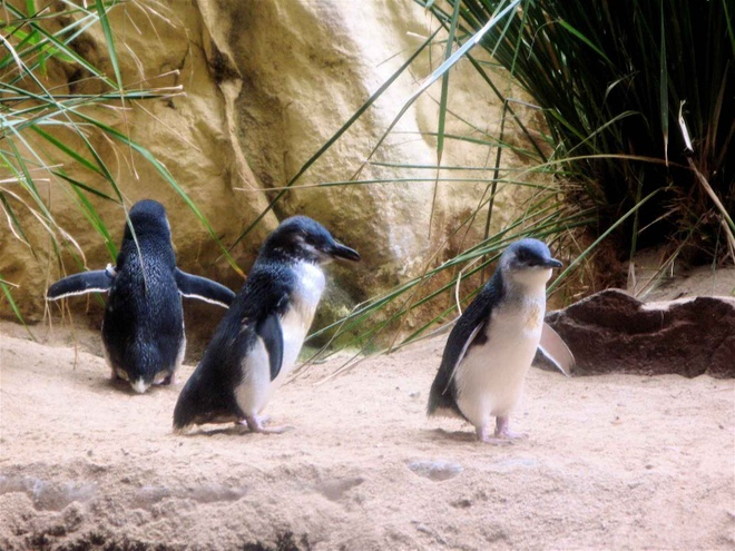 """Nhung hanh dong xau xi cua du khach khap the gioi hinh anh 4 Du khách người Anh ăn trộm chim cánh cụt: Ba du khách người Anh đã bị bắt giữ sau khi đột nhập vào công viên Thế giới Đại dương của Úc và bắt cóc một chú chim cánh cụt tên Dirk. Ngoài ra, bộ ba còn xuống bể bơi với cá heo và định tái hiện cảnh """"cá mập nuốt chửng bình cứu hỏa"""" trong bộ phim """"Hàm cá mập"""". Lẽ ra họ có thể thoát nếu không đăng ảnh trên Facebook. May mắn là vào ngày hôm sau Dirk được tìm thấy ở một bãi biển gần đó mà không tổn hại gì và được đoàn tụ với các bạn mình."""