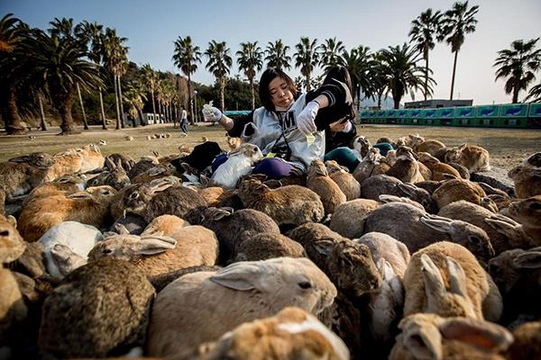 2. Đảo thỏ Okunoshima, Nhật Bản: Nằm ở biển Inland của Nhật, , hòn đảo Okunoshima của Nhật trở thành điểm hút khách nhờ những đàn thỏ béo mập, thân thiện và siêu đáng yêu. Chúng thường lại gần các du khách xin ăn và không ngần ngại trèo vào lòng hay leo lên người du khách. Đây từng là nơi sản xuất vũ khí hóa học trong thời kỳ chiến tranh. Giờ đây, hòn đảo xinh đẹp này có sân golf, khu cắm trại và tour tham quan cơ sở sản xuất vũ khí hóa học cũ, nhưng chính những chú thỏ mới là tâm điểm sự chú ý của du khách.