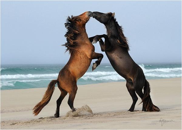 """3. Sable – đảo của xác tàu và ngựa hoang, Canada: Nằm ngoài khơi Nova Scotia, Canada, đảo Sable được mệnh danh là """"Nghĩa địa của Đại Tây Dương"""". Chỉ dài 42 km và rộng 1,5 km nhưng trên hòn đảo này có tới 475 xác tàu đắm và hiện giờ đang là nhà của hơn 400 con ngựa hoang. Bị bỏ lại bởi thủy thủ hay trôi dạt lên bờ, những con ngựa đã sống sót và phát triển trên hòn đảo trơ trụi chỉ có cỏ biển và nước mưa."""