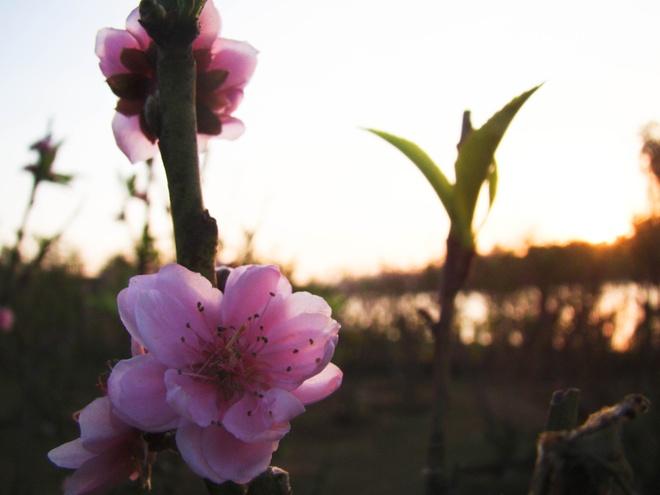 Da Lat - Duyen hay Tinh da giu chan toi hinh anh 5 Cánh đào với vẻ đẹp dịu dàng.