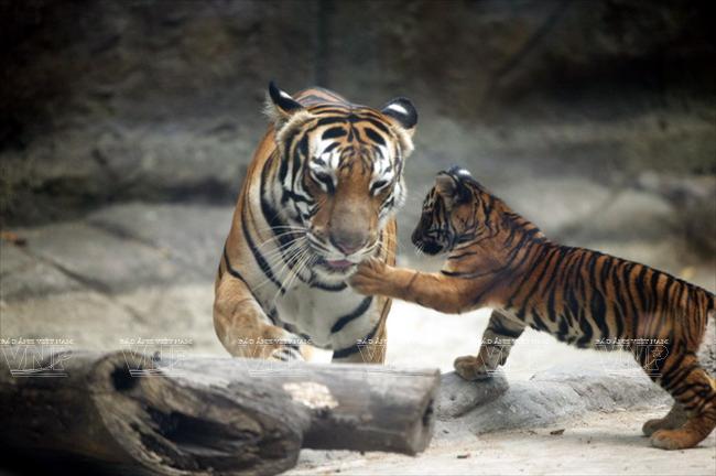 Toi tham mot trong 8 so thu lau doi nhat the gioi o Viet Nam hinh anh 8 Loài hổ Đông Dương được được nuôi dưỡng và đã sinh sản tại Thảo Cầm Viên Sài Gòn.