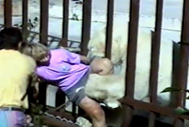Nhung vu thu du tan cong nguoi dang so o so thu hinh anh 1 Chú gấu Bắc Cực Binky (năm 1994): Du khách người Úc, Kathryn Warburton, đã leo qua hai hàng rào bảo vệ để chụp ảnh Binky, một chú gấu Bắc Cực nặng gần 550kg. Con gấu đã thò đầu qua song chuồng và ngoạm được cô. Warburton bị gẫy chân và rách thịt, cô đã mất mạng nếu không có các du khách nhanh trí dùng cành cây xua Binky lùi lại. Chỉ 1 tháng rưỡi sau, con gấu lại tấn công một du khách say rượu tới gần chuồng nó và xé rách chân anh chàng. Dù vậy, Binky vẫn trở thành một biểu tượng của sở thú.