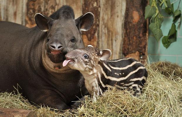 Nhung vu thu du tan cong nguoi dang so o so thu hinh anh 2 Con heo vòi Melody (năm 1998): Heo vòi là một loài thú kỳ lạ có vẻ ngoài giống lợn, sống chủ yếu ở Trung Mỹ, Nam Mỹ và châu Á. Vào sáng ngày 27/11/1998, nhân viên sở thú, Lisa Morehead, đang cho một chú heo vòi Malaysia tên Melody (mới sinh con 2 tháng) ăn thì con vật bất ngờ cắn vào tay trái cô. Morehead đã cố vùng vẫy thoát ra, bị rách mặt, dập phổi và không giữ nổi cánh tay. Tay cô bị con vật dứt đứt và bị nhiễm trùng nên không thể nối lại được.