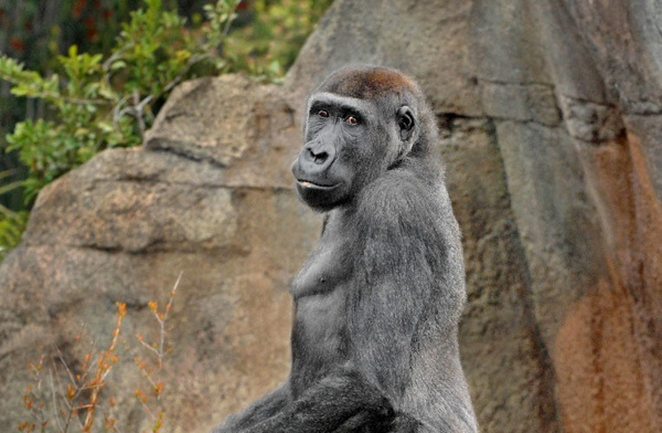 Nhung vu thu du tan cong nguoi dang so o so thu hinh anh 6 Chú khỉ đột Jabari (năm 2004): Jabari là một chú khỉ đột 13 tuổi sống trong khu chuồng nuôi có tường bao cao gần 5m. Bị vài đứa trẻ chọc giận, Jabari đã xoay xở trèo qua được tường bao và tấn công 4 người, trong đó có nữ du khách 26 tuổi, Keisha Heard, và cậu con trai 3 tuổi của cô, Rivers. Jabari đã ngậm đứa trẻ trong miệng, cắn vào đầu và ngực cậu bé. May mắn là không có ai thiệt mạng, nhưng Jabari đã bị cảnh sát bắn hạ.